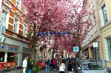 Cherry Blossoms – Bonn