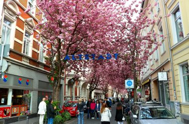 Cherry Blossoms – Bonn