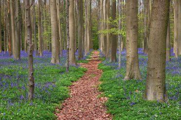 Hyacintenwandeling door het Hallerbos – Halle